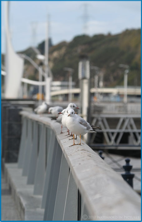 Seagulls In Waterford City